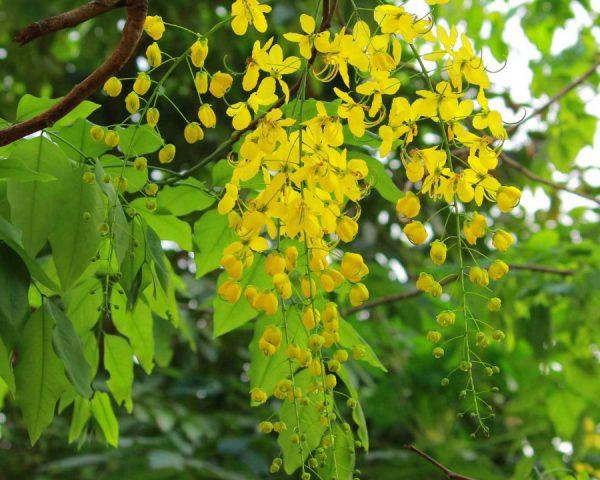 Amaltas flower tree